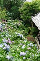 Les hortensias du temple Hase en juin