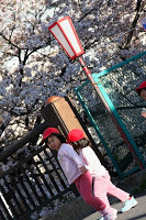 Une petite rivière bordée de cerisiers près de Moto-Sumiyoshi
