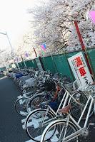 Une petite rivière bordée de cerisiers près de Moto-Sumiyoshi - Un cliché souvenir plus qu'autre chose pour ces cerisiers bordés de vélos