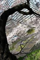 Cerisiers aux abords du Nihon Budôkan et du sanctuaire Yasukuni