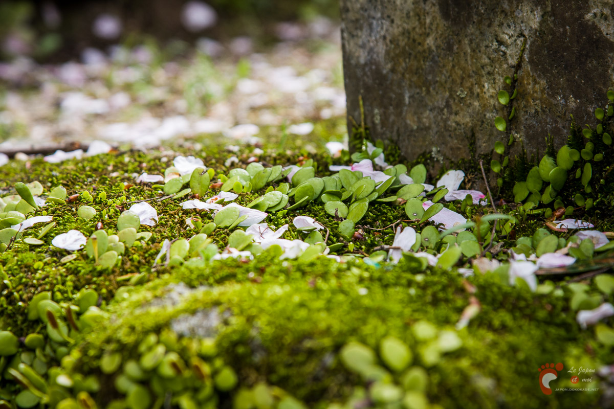 Pétales de cerisier à Dazaifu - Kyushu