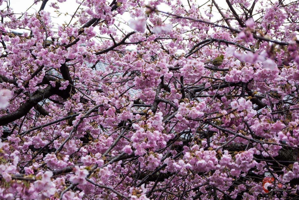 Certains s'en donnent à cœur joie dans les fleurs de cerisier