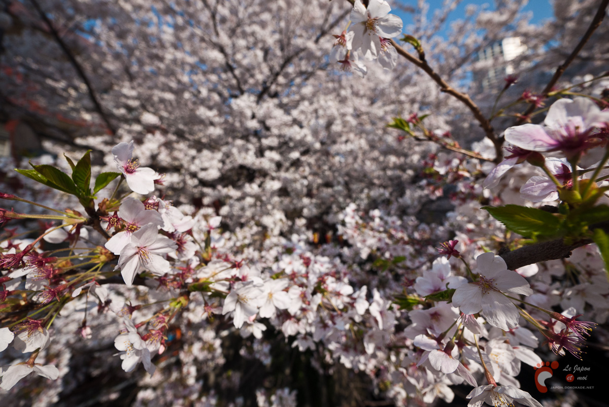Cerisiers en fleurs à Naka-Meguro