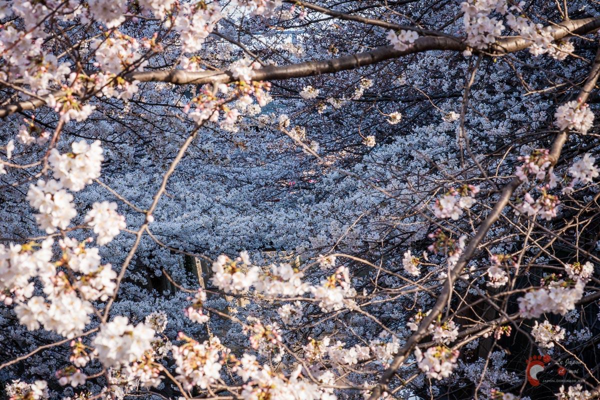 Cerisiers sur les berges de la rivière Meguro près de Naka-Meguro