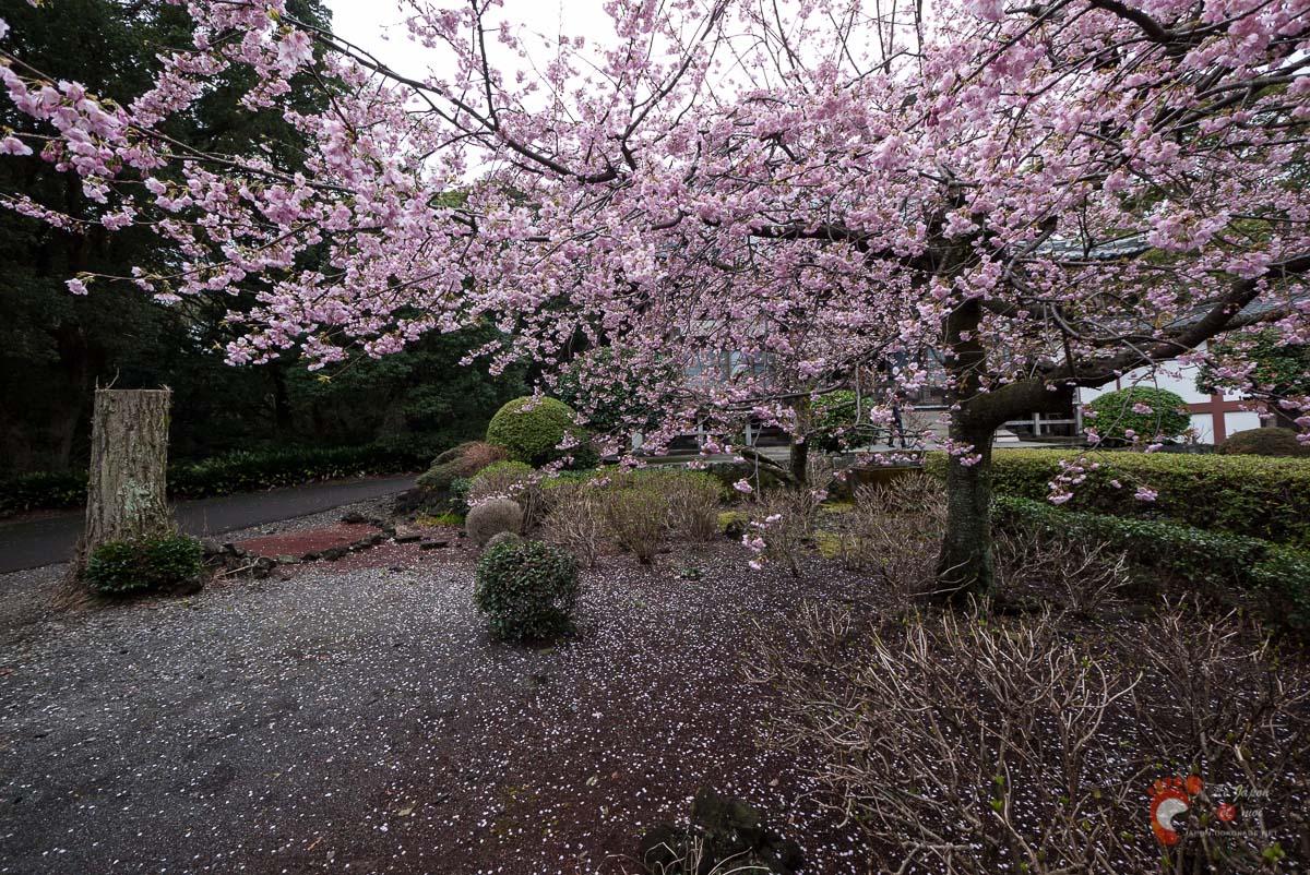 Cerisier dans le Renchaku-ji