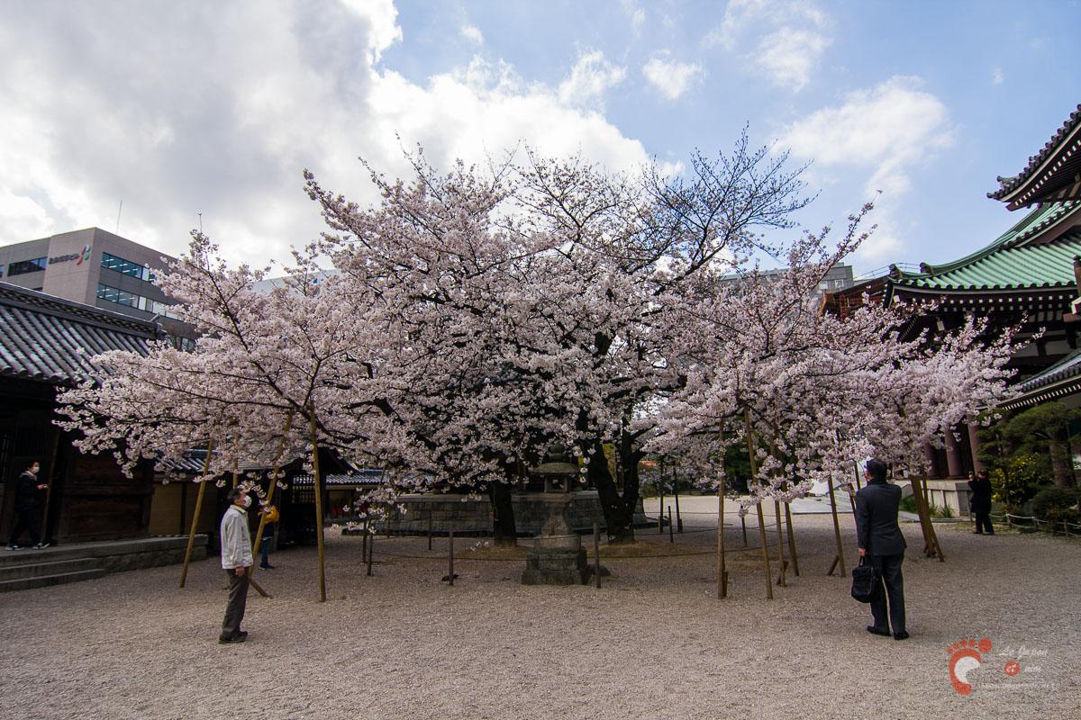 Le temple Tochoji et son cerisier à Fukuoka