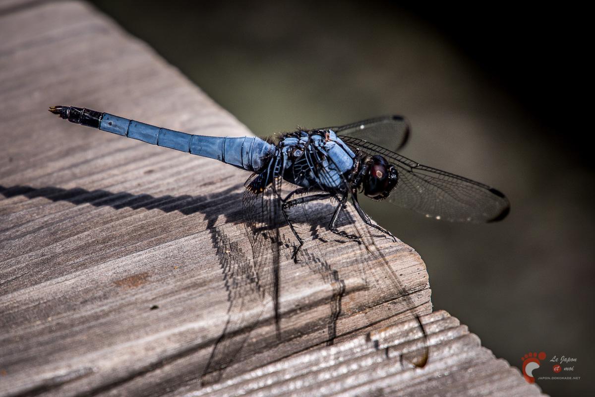 Hikone - Ryōtanji : libellule bleue